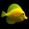 Zebrasoma Flavescens TANK BRED, Yellow tang